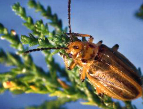 Conservancy Staff alumna sights tamarisk beetles in eastern Arizona